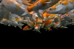 Koi onderwater zwemmen Stock Foto's