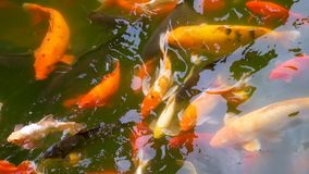 Koi ou poissons d'or nageant dans une relaxation d'étang banque de vidéos