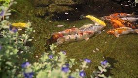 Koi pesca la natación en la pequeña charca metrajes