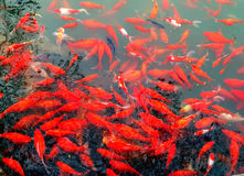 Koi pond. Rred koi are moving  around looking for food,Taking in autumn Royalty Free Stock Image