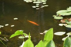 Koi in Pond. A large golden Koi fish swimming in a pond in North Eastern Ohio.  Fish is surroounded by water plants Stock Image
