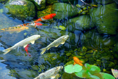 Free Koi Pond Royalty Free Stock Photography - 1821467
