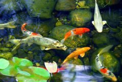 Free Koi Pond Royalty Free Stock Photography - 1826527