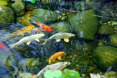 Koi Pond Royalty Free Stock Photo