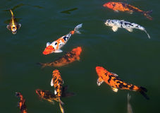 Koi in the pond. Flock of fish (Koi) in the pond Stock Photography