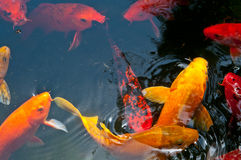 Koi Pond Royalty Free Stock Photos