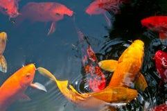 Koi Pond. Japanese Koi fish in a pond Royalty Free Stock Photos