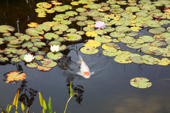 Koi Pond Stock Photo