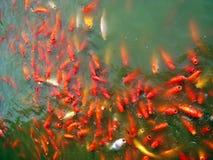 Koi Pond. Filled with hungry orange, gold and white ornamental carp or nishikigoi Royalty Free Stock Image