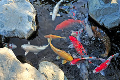 Koi pond. Colorful koi fish in pond Royalty Free Stock Photo