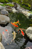 Koi pond. In a Japanese garden royalty free stock photography