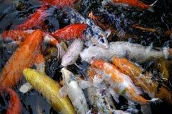 Koi Pond Stock Photos