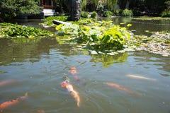Koi Pond bij Chinese Tuin Stock Fotografie