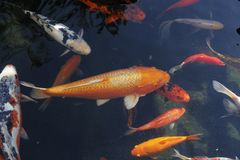 Koi in the pond of the Church of the multiplication of bread in Tabgha Stock Image