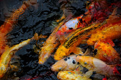 Koi Pond Royalty Free Stock Image