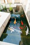 Koi Pond con i pesci variopinti delle carpe del Giappone Fotografie Stock