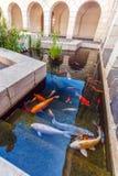 Koi Pond con los pescados coloridos de las carpas de Japón Fotografía de archivo