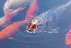Koi Pond con los pescados coloridos de las carpas de Japón Fotografía de archivo libre de regalías