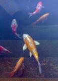 Koi Pond con los pescados coloridos de las carpas de Japón Imagenes de archivo