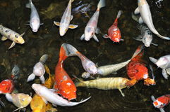 Koi Pond with Fish. Koi fish in a shallow pond waiting for food stock photography