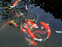 Koi Pond Royalty Free Stock Images