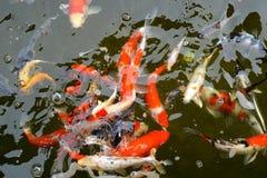 Koi Pond Royalty Free Stock Image