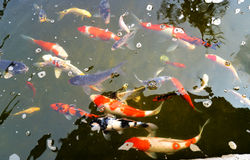 Koi Pond Stock Photography