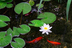 Koi Pond. This is a koi fish in a pond with lily pads and lotus flowers royalty free stock photos