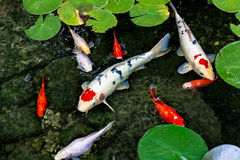 Koi Pond. These are koi fish swimming in the water of a pond with lily pads royalty free stock photos
