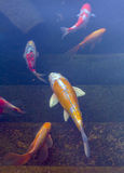 Koi Pond with Japan Colorful Carps Fishes Stock Images