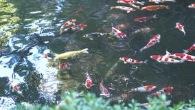 Koi pond in Japan with koi fish, fancy carp, seen from above with reflections stock video