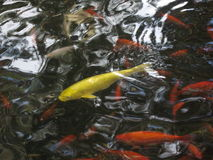 Koi Pond Japanese Gardens Royalty Free Stock Photo