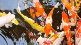 Koi in the pond. stock image