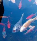 Koi Pond med Japan färgrika karpfiskar Royaltyfri Bild