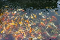 Koi in the  pond Stock Image