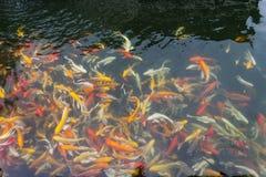 Koi in the  pond Royalty Free Stock Photos