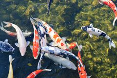 Koi Pond. In Nagoya, Japan Stock Photography