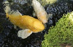 Koi Pond Stock Images