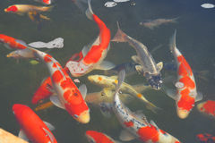 Koi Pond in Pond Stock Photo