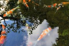 Koi Pond Reflection no jardim japonês Imagens de Stock Royalty Free
