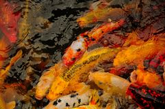 Koi Pond in Shanghai China. A pond full of large multi-colored Asian carp or koi at li yuan garden in Zhaojialou town in Shanghai China Royalty Free Stock Image