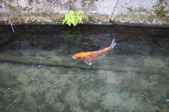 Koi in the pond. With a stone covered with green by ooze bottom stock photos