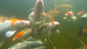 Koi pond underwater video stock footage