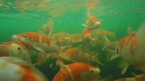 Koi pond underwater video stock video footage