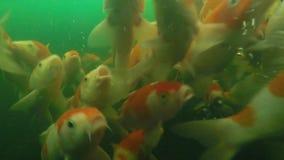 Koi pond underwater video stock video