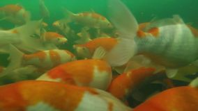 Koi pond underwater video Stock Images