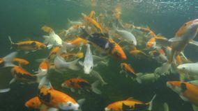 Koi pond underwater video Royalty Free Stock Photography