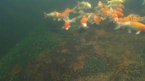 Koi pond underwater video Royalty Free Stock Photos