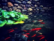 Koi Reflection Lizenzfreie Stockfotografie