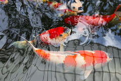 Koi Reflection Stock Image